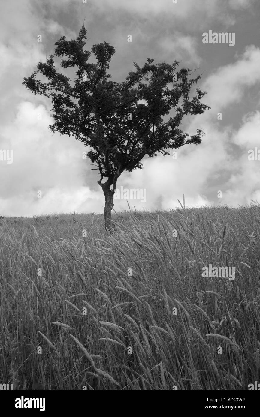 Black and white image of a single Hawthorn tree and the tall grass of summer - Stock Image
