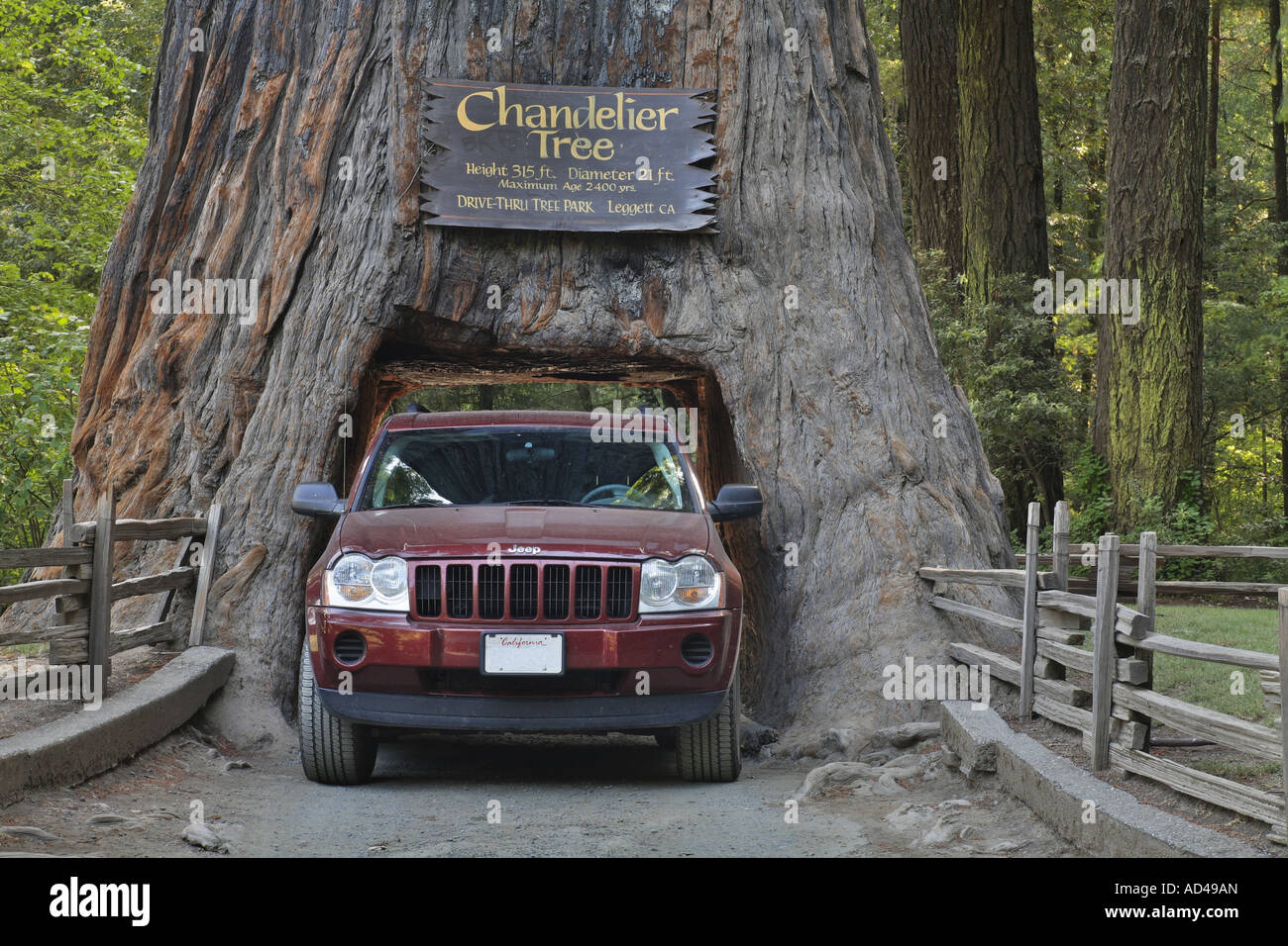Jeep drives through a redwood sequoia sempervirens in the stock jeep drives through a redwood sequoia sempervirens in the chandelier drive thru park california usa mozeypictures Image collections