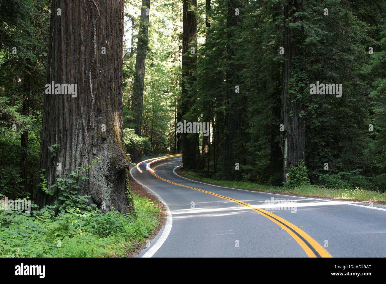 Avenue of the Giants scenic byway through the tall Redwoods (Sequoia sempervirens), California, USA - Stock Image