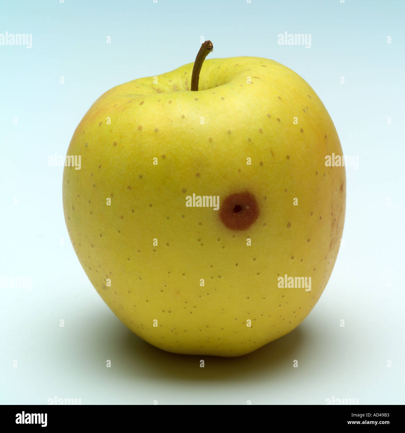 Golden Delicious apple with small rotten part and grub's hole - Stock Image