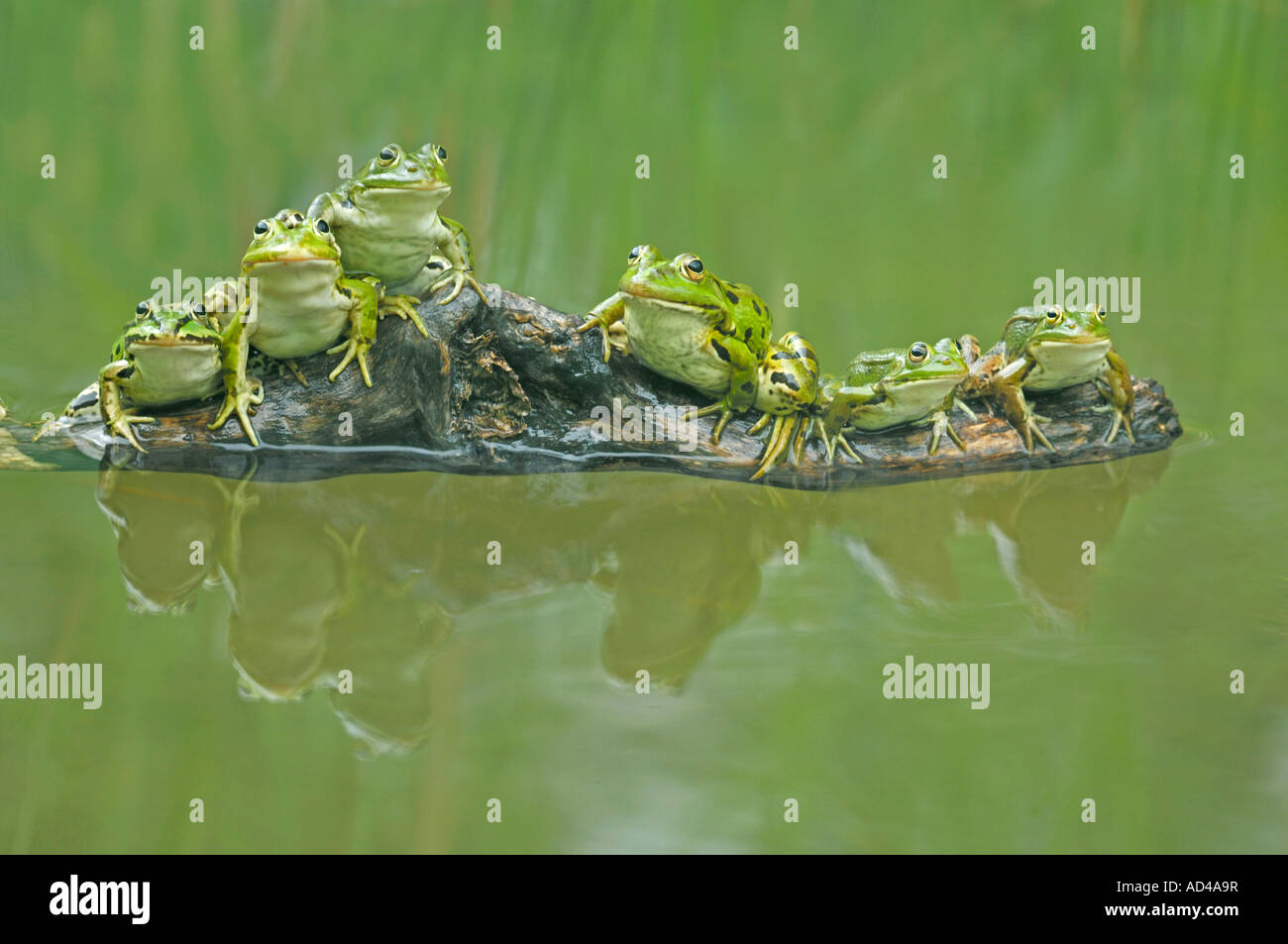 Edible frogs (Rana esculenta) sitting on a branch - Stock Image
