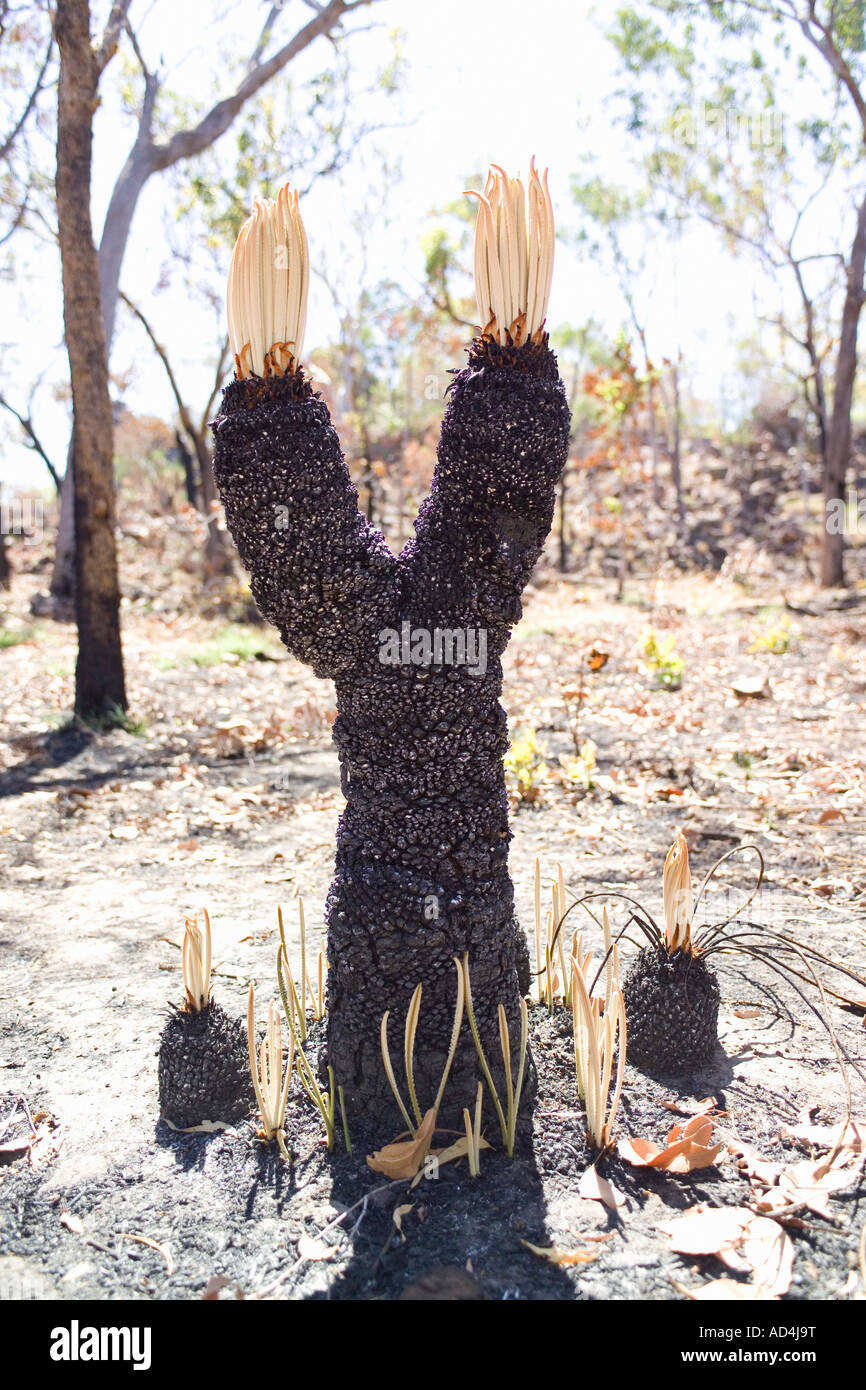 A burnt Eucalyptus tree - Stock Image