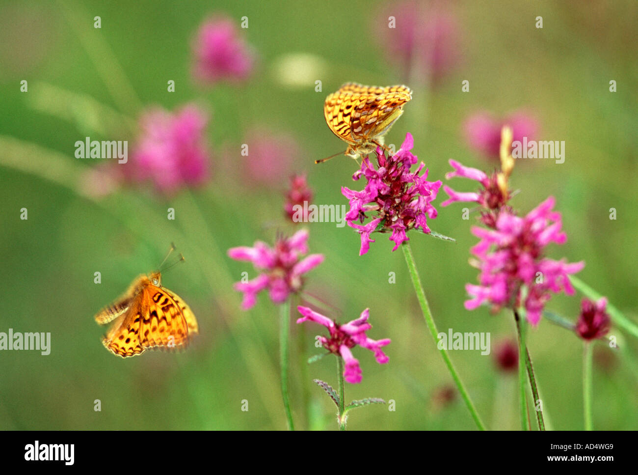 High Brown Fritillary - Argynnis adippe, Courtship. Arnside Knott, Cumbria, UK - Stock Image