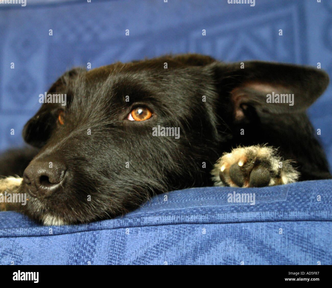 Mongrel on sofa - Stock Image
