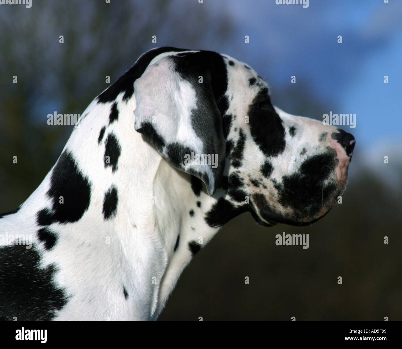 Harlequin great dane profile - Stock Image