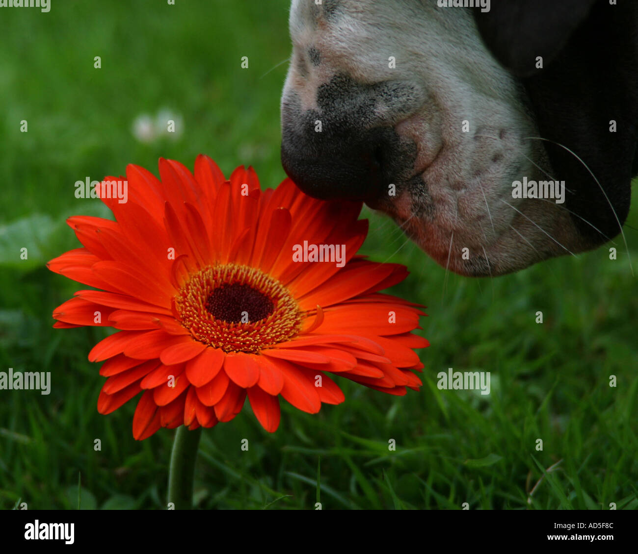 Great Dane smelling flower - Stock Image