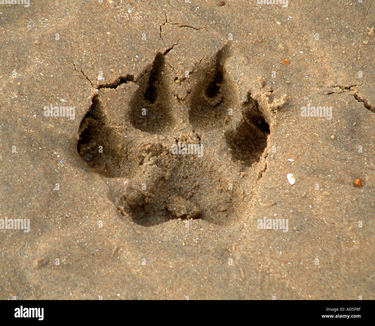 Great Dane footprint - Stock Image