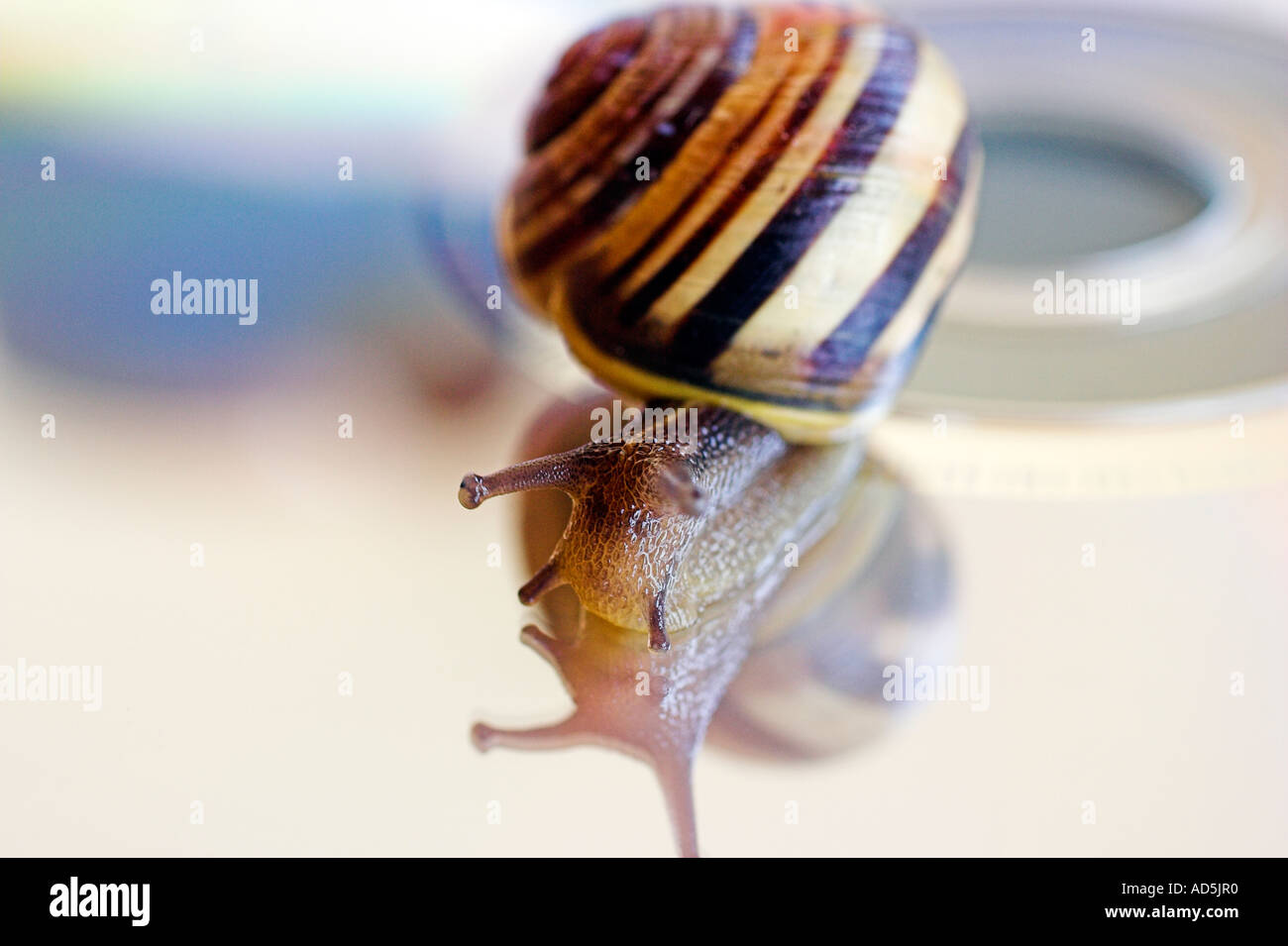 Snail on a compact disc Stock Photo