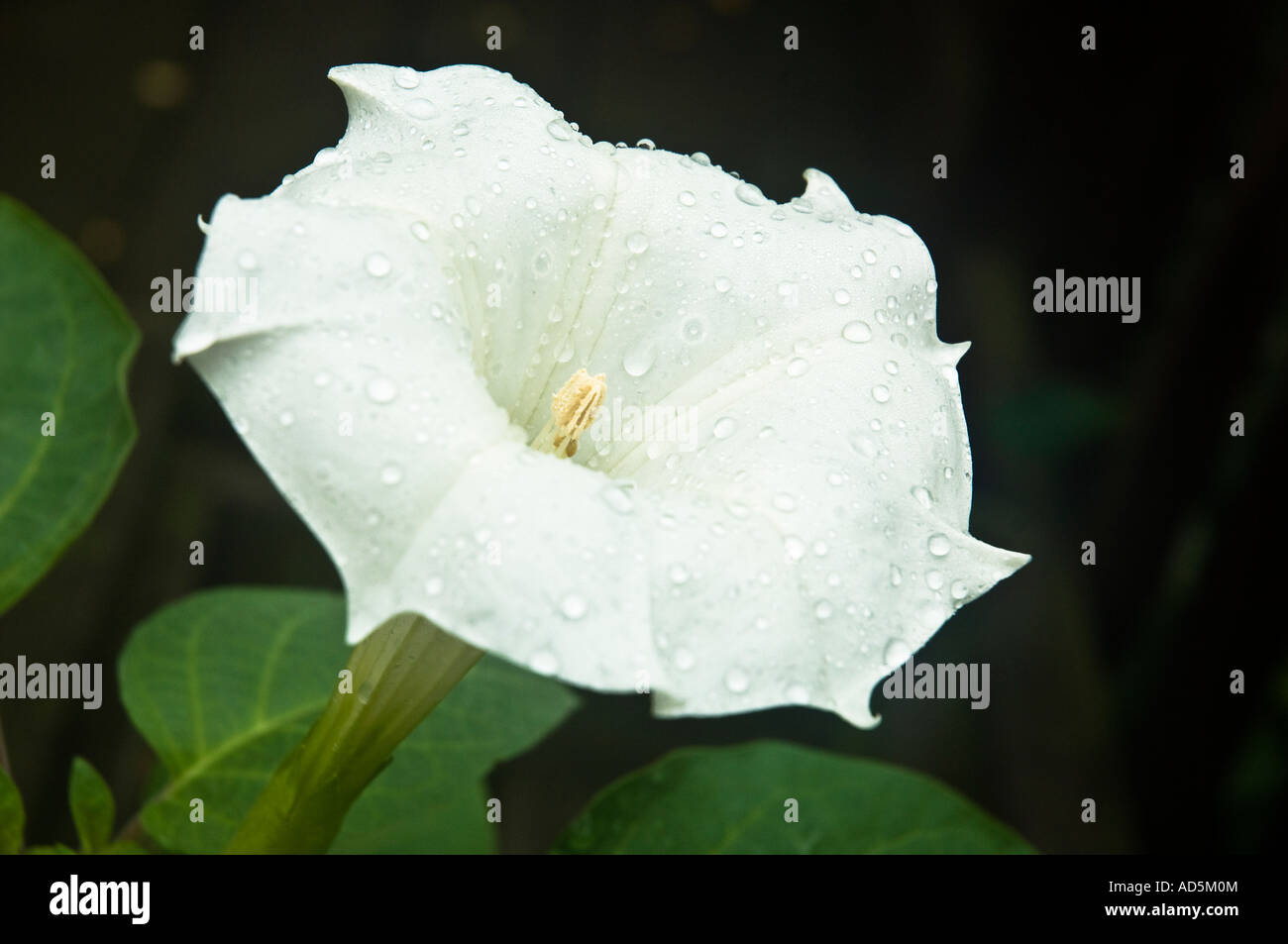 Closeup of a flower of Datura inoxia (D. innoxia) just after a rain. Space for copy. Camera: Nikon D2x. - Stock Image