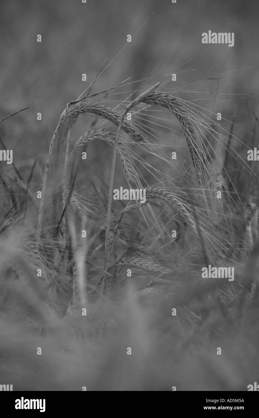 black and white monotone barley crop Stock Photo