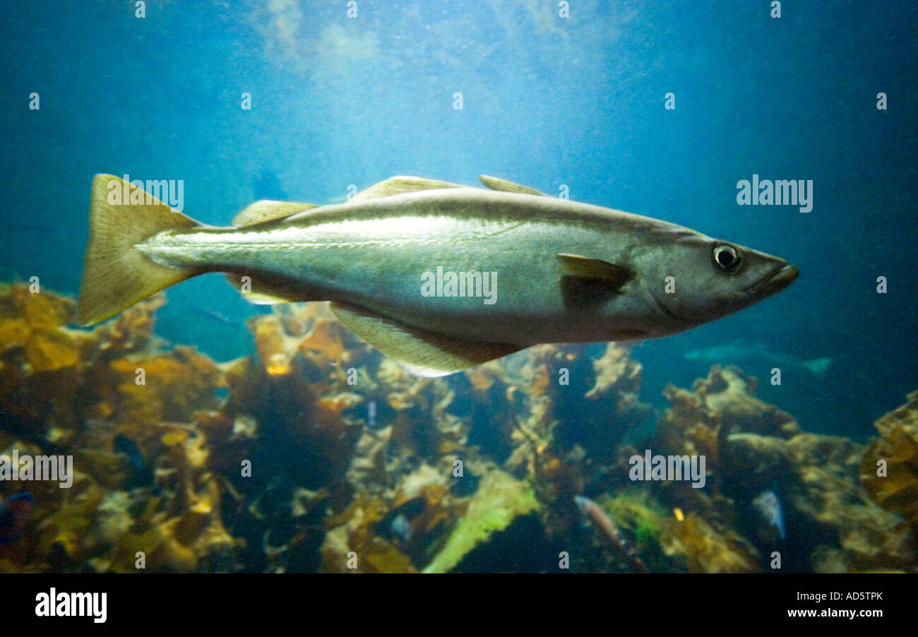 A Saithe fish POLLACHIUS VIRENS swimming in the water. Also known as pollock, pollack, Boston blues, coalfish and - Stock Image