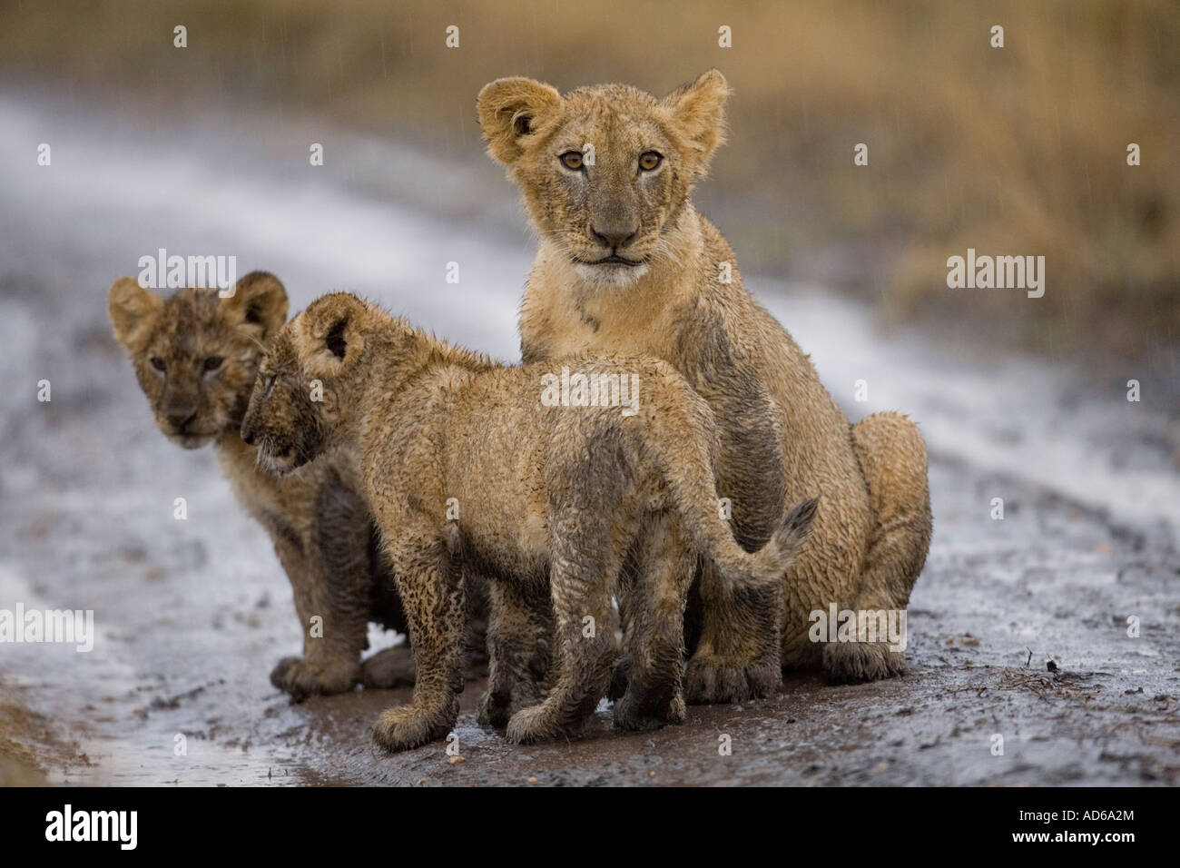 Africa Kenya Masai Mara Game Reserve Lion cubs Panthera leo sitting covered in mud while playing in rain storm Stock Photo