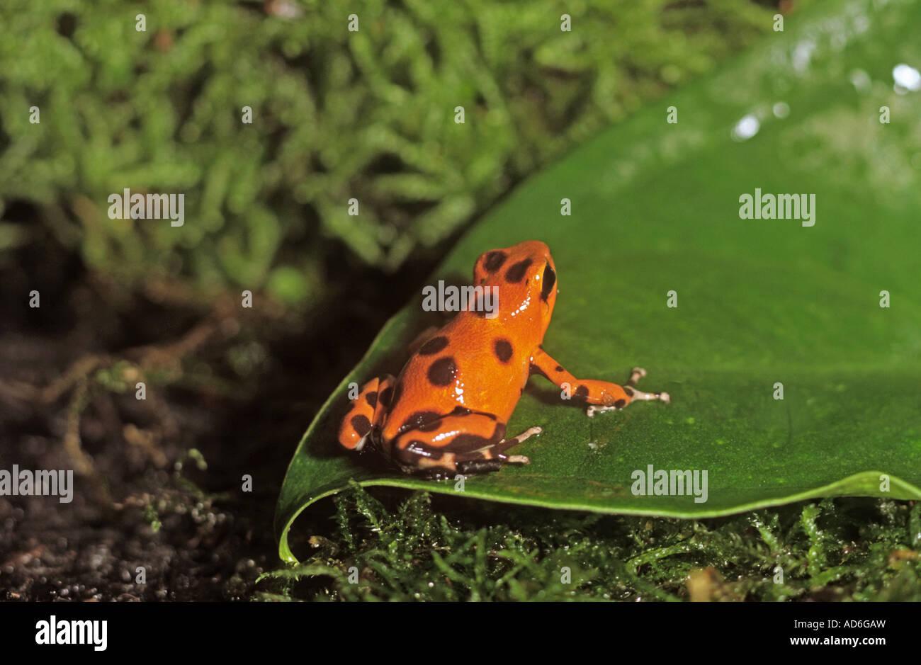 Strawberry poison Dart frog / Dendrobates pumilio - Stock Image