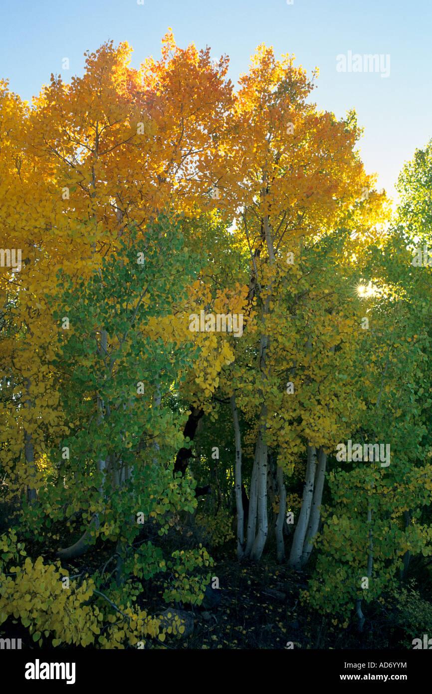 Aspen Trees Turn Yellow In Stock Photos & Aspen Trees Turn Yellow In ...