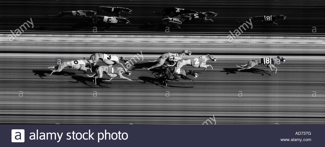 Greyhound Dog Racing dogs coming across the finish  line, shot with special freeze action finish line camera - Stock Image
