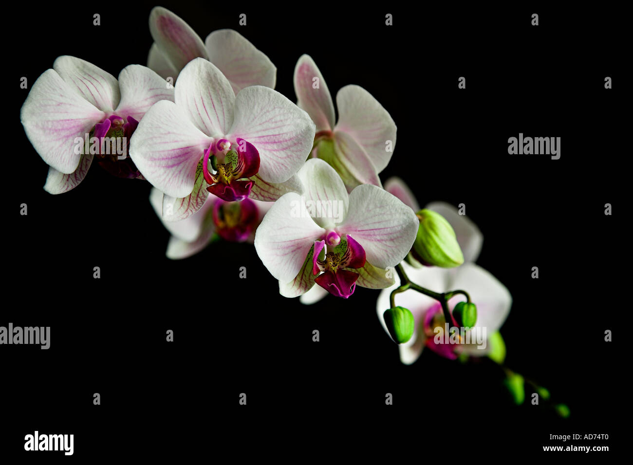 Orchids in flower - Stock Image