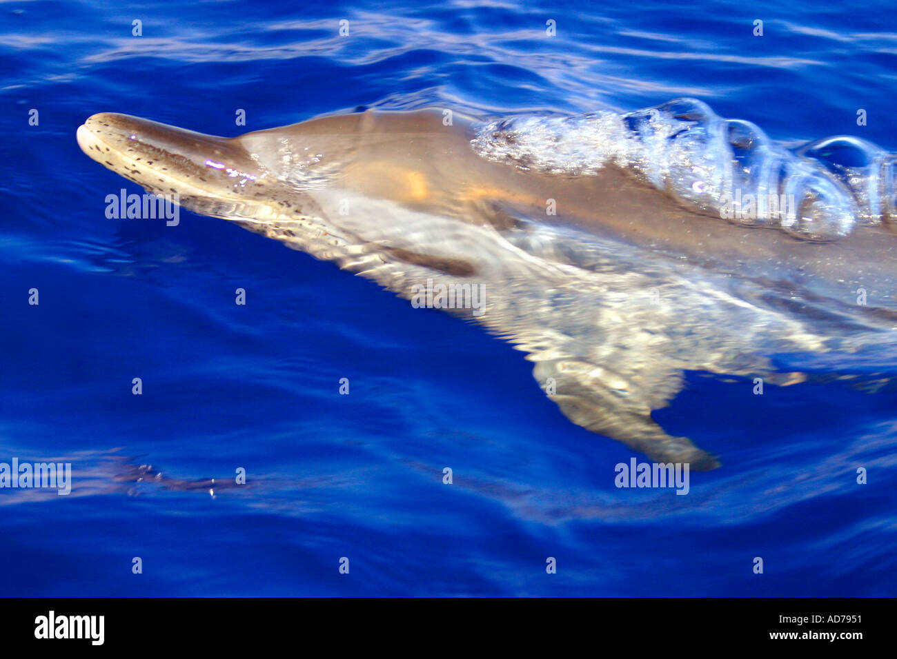 YOUNG PANTROPICAL SPOTTED DOLPHIN STENELLA ATTENUATA SPOUTING HAWAII - Stock Image