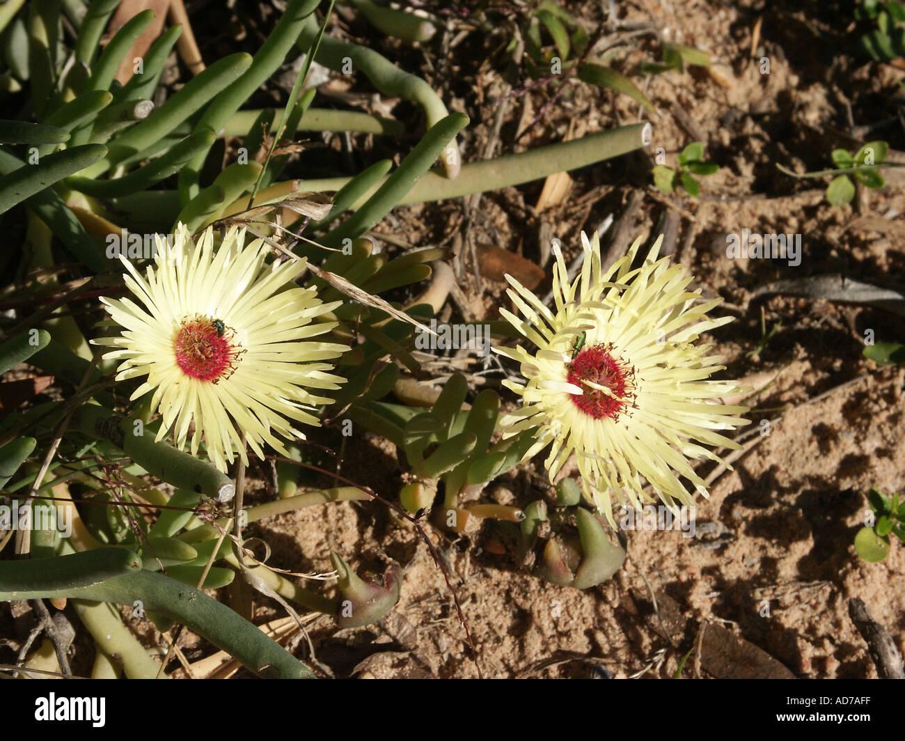 Dorotheanthus bellidiformis Bokbaai Vygie Mesembryanthemaceae - Stock Image