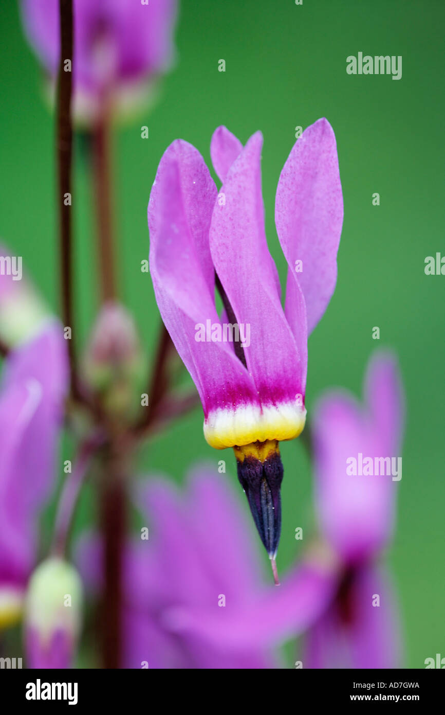 Shooting star American cowslip Indian chief Rooster heads Johnny jump Pride of Ohio Dodecatheon meadia Germany - Stock Image