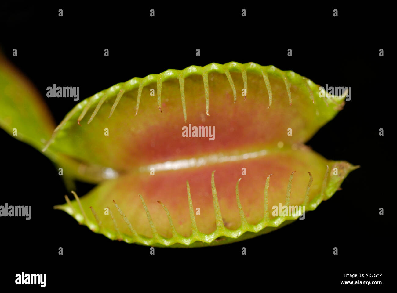 Single Venus flytrap, Dionaea muscipula, open, against black. Carnivorous insectivorous plant. - Stock Image
