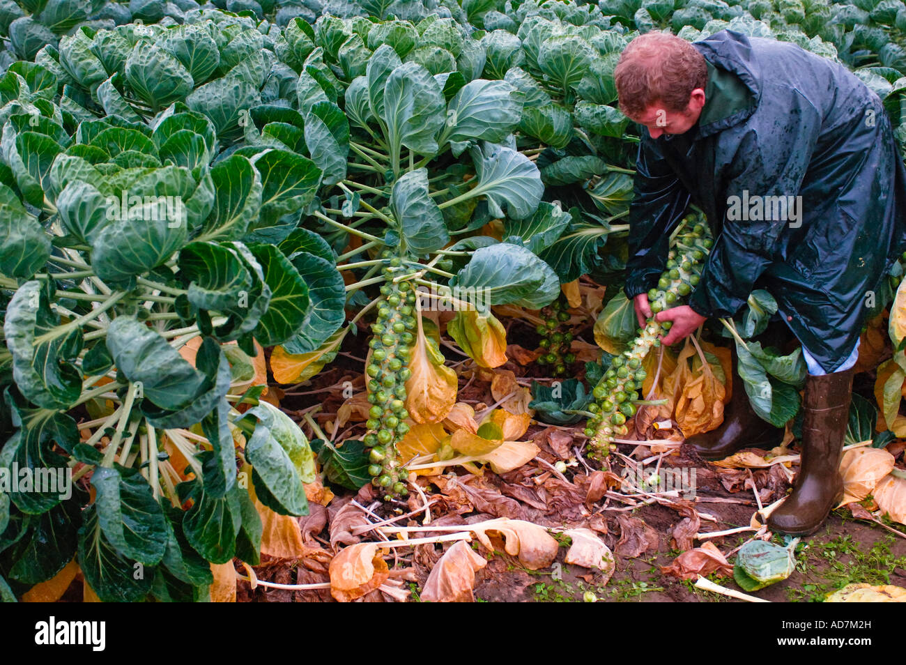 Harvesting Brussels sprouts by hand Belgium Stock Photo