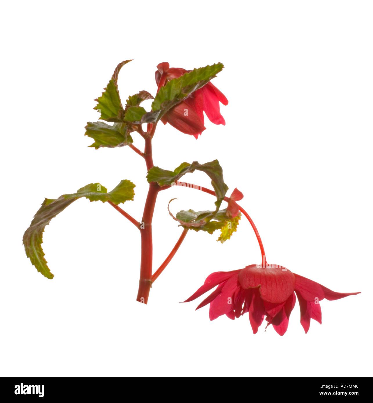 Begonia pendula. Flowerhead leaf bud Surrey England June - Stock Image