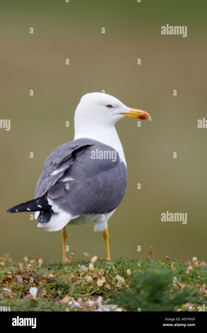 Herring gull Larus argentatus standing looking alert with