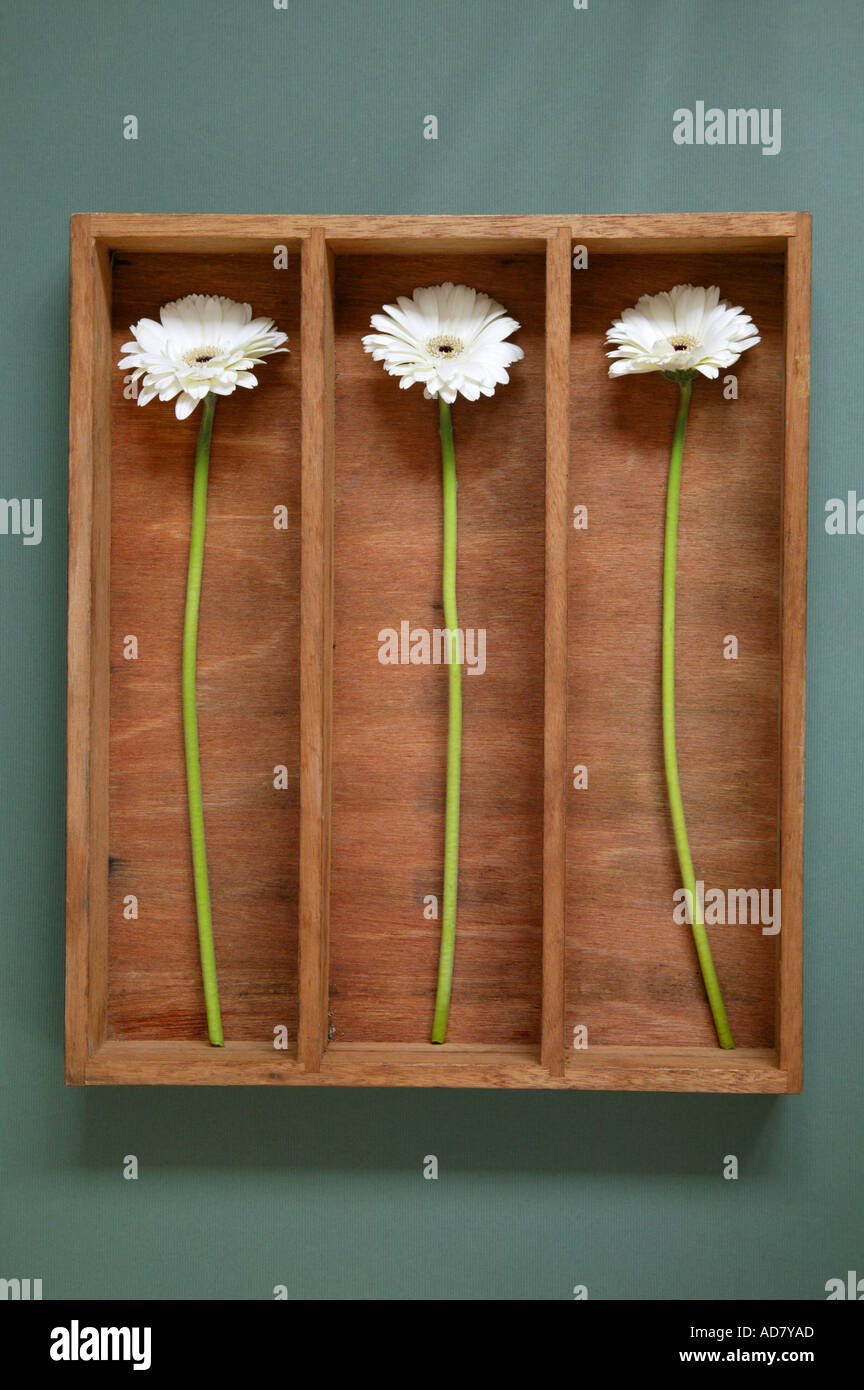 Three white gerberas in wooden box - Stock Image