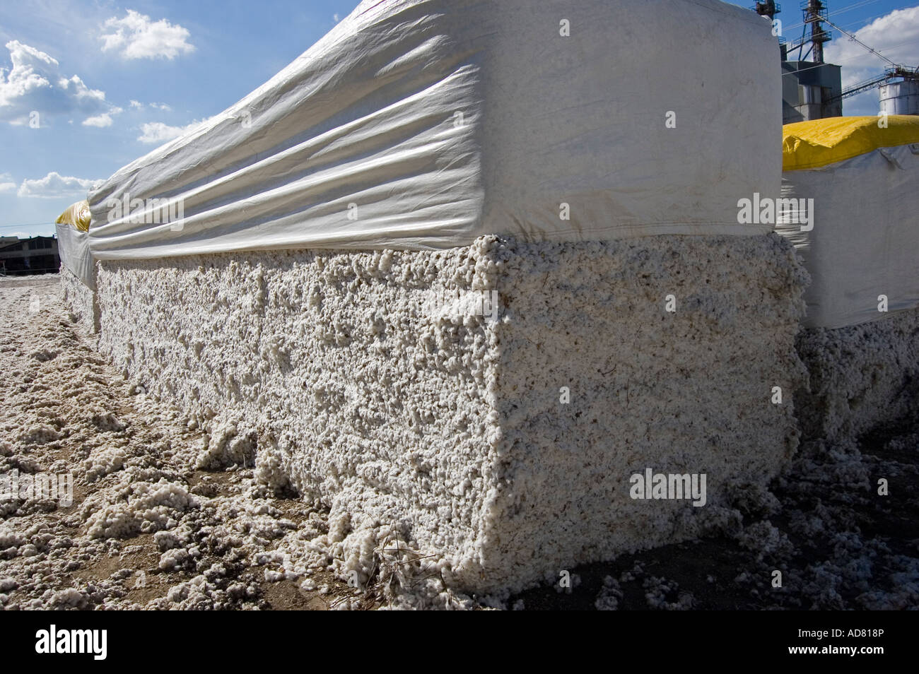 Cotton picking time - Stock Image