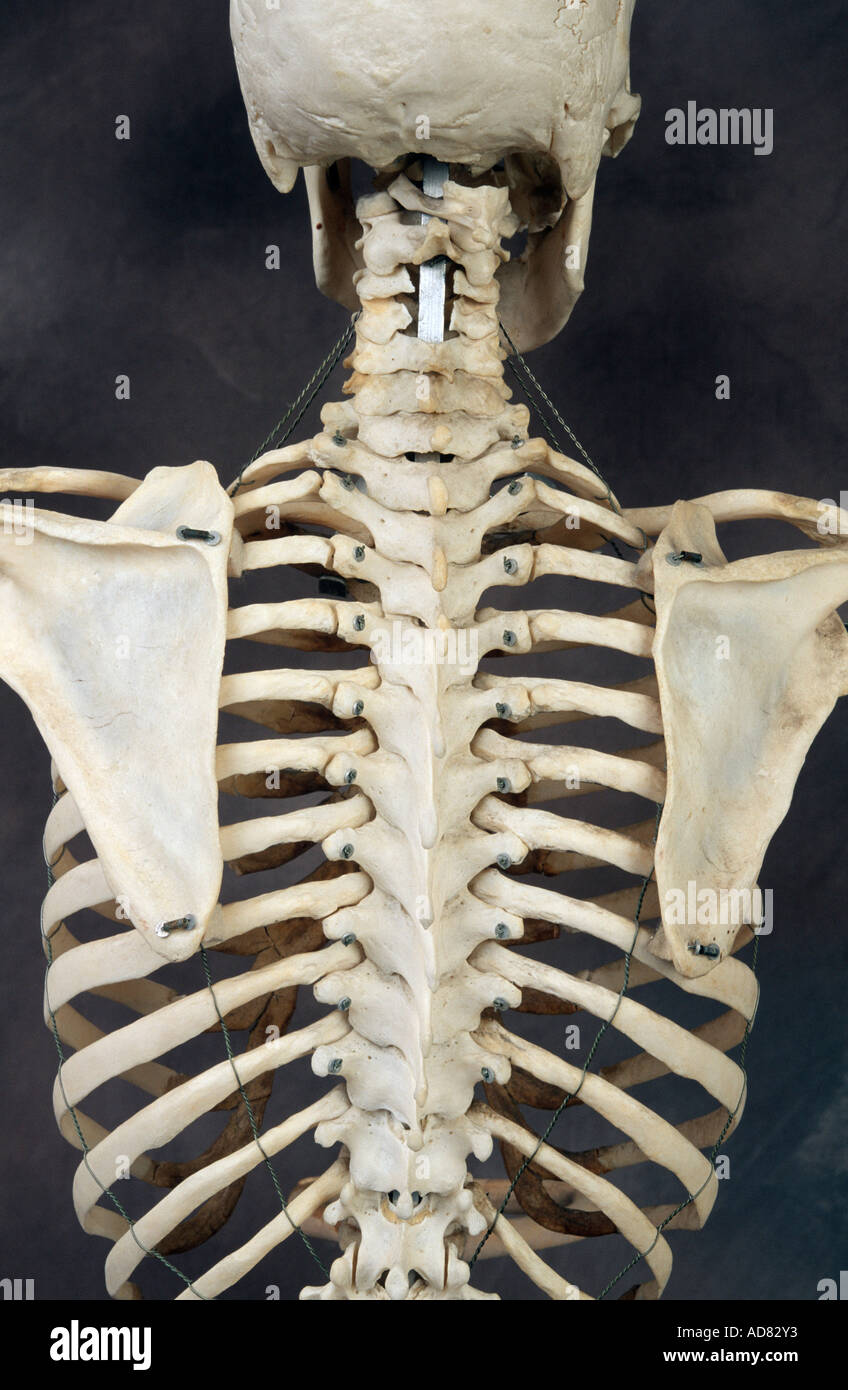 Human Skeleton Back Stock Photos Human Skeleton Back Stock Images