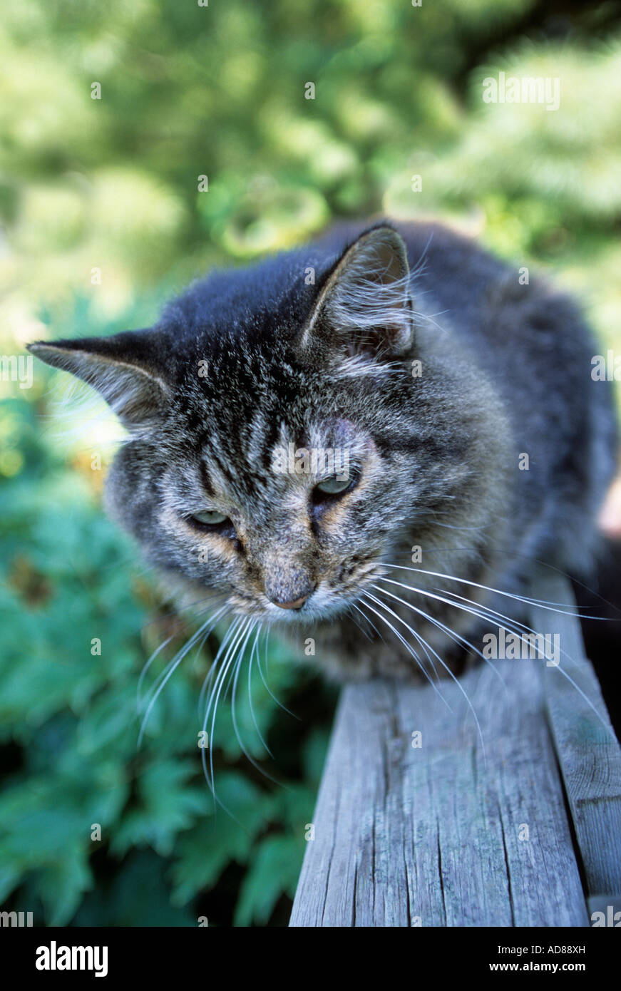 CAT SITS ON FENCE IN MINNESOTA GARDEN. JULY. - Stock Image