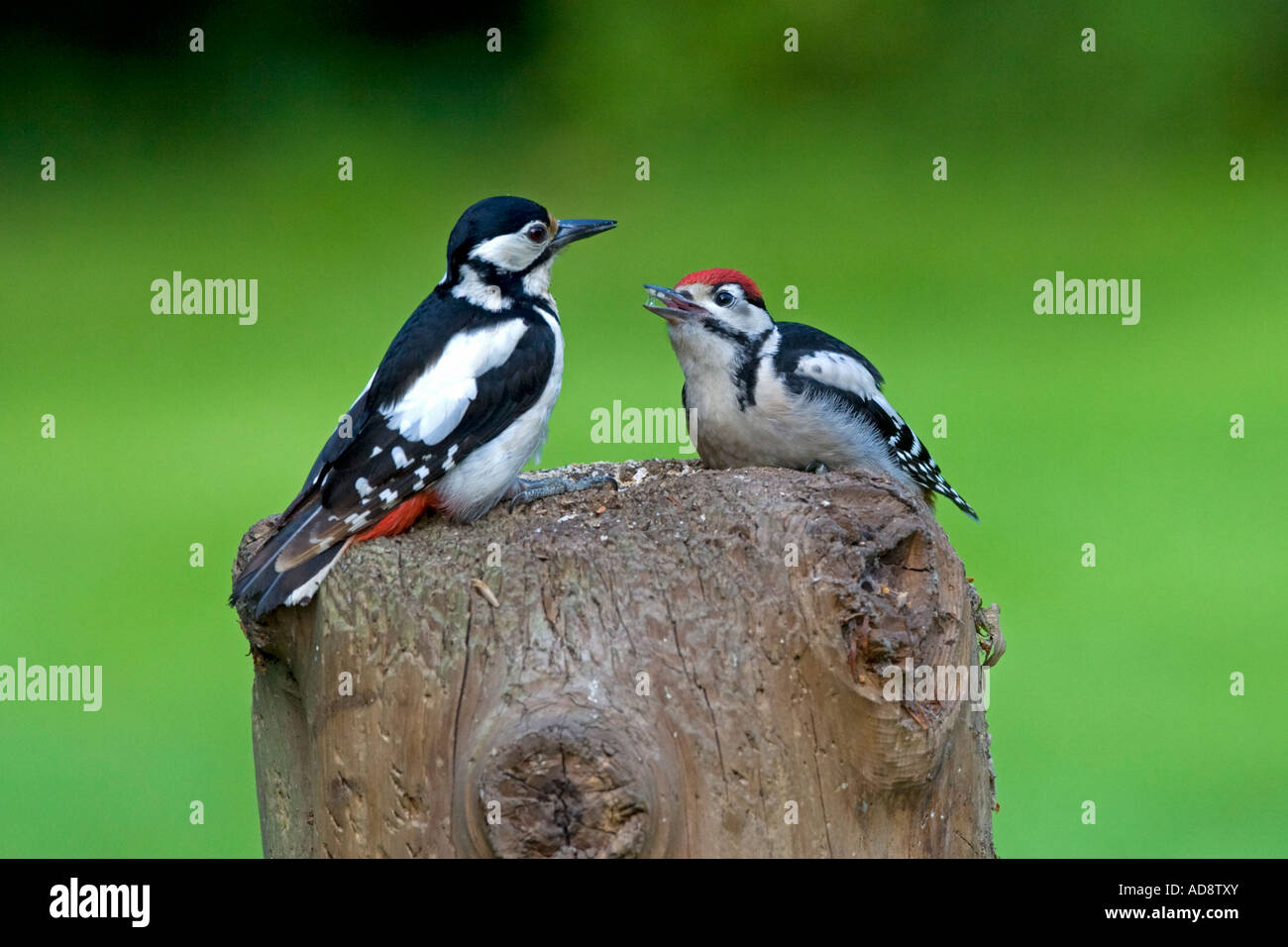 Dendrocopos major Great  Spotted Woodpecker  feeding on stump. Natural history. Wildlife. - Stock Image