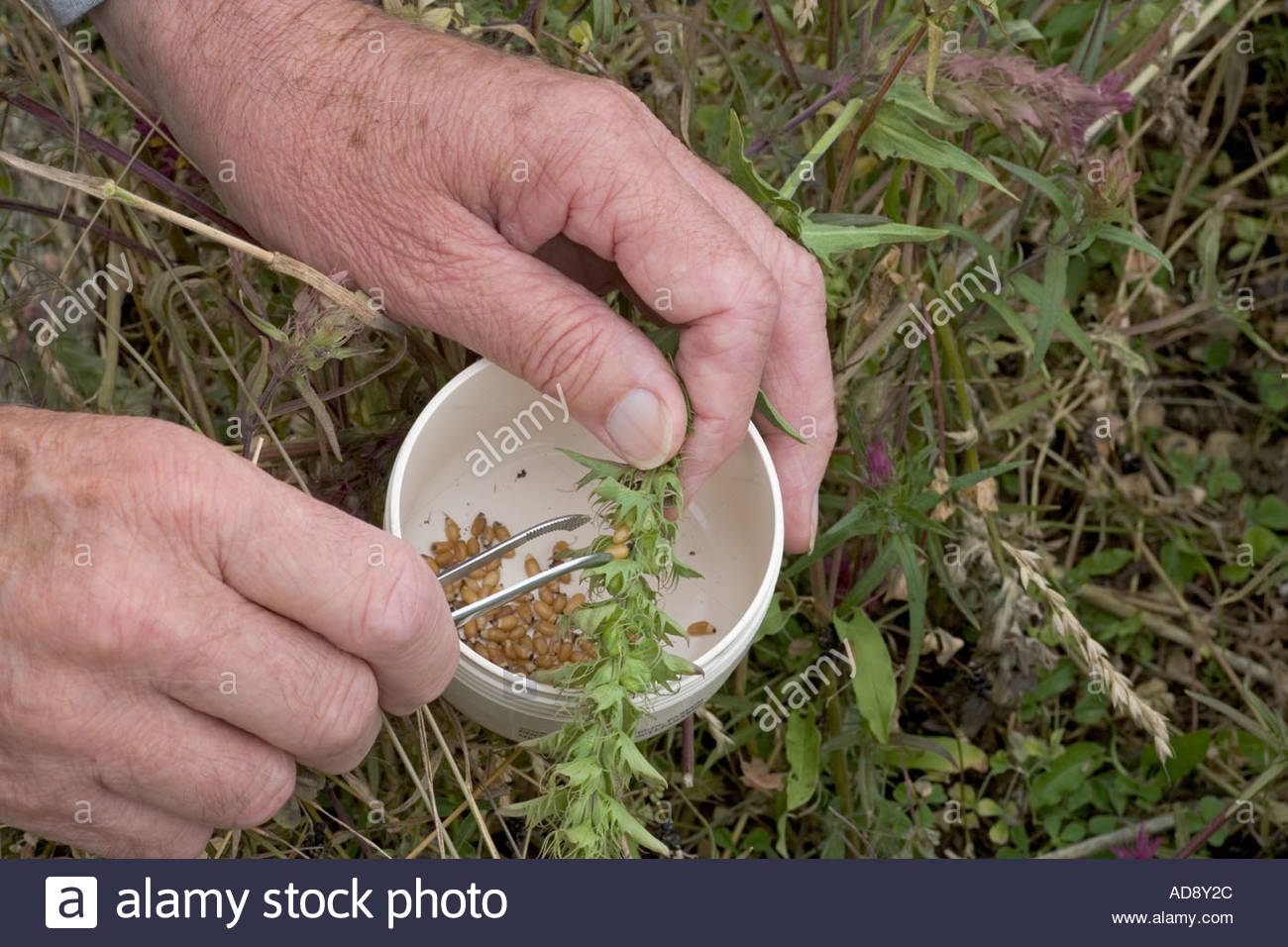 Botonist extracting seed from rare plant Field Cow Wheat - Stock Image