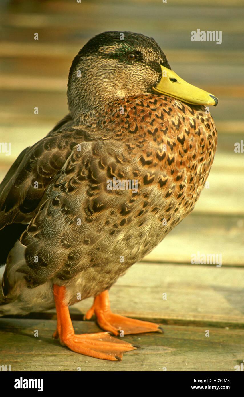 Portrait of a female Mallard duck (Anas Platyrhynchos) BHZ - Stock Image