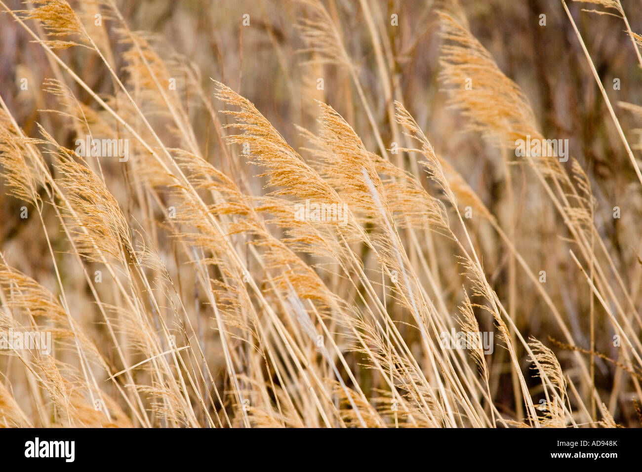 The tops of prarie grass along the Platte River. Stock Photo