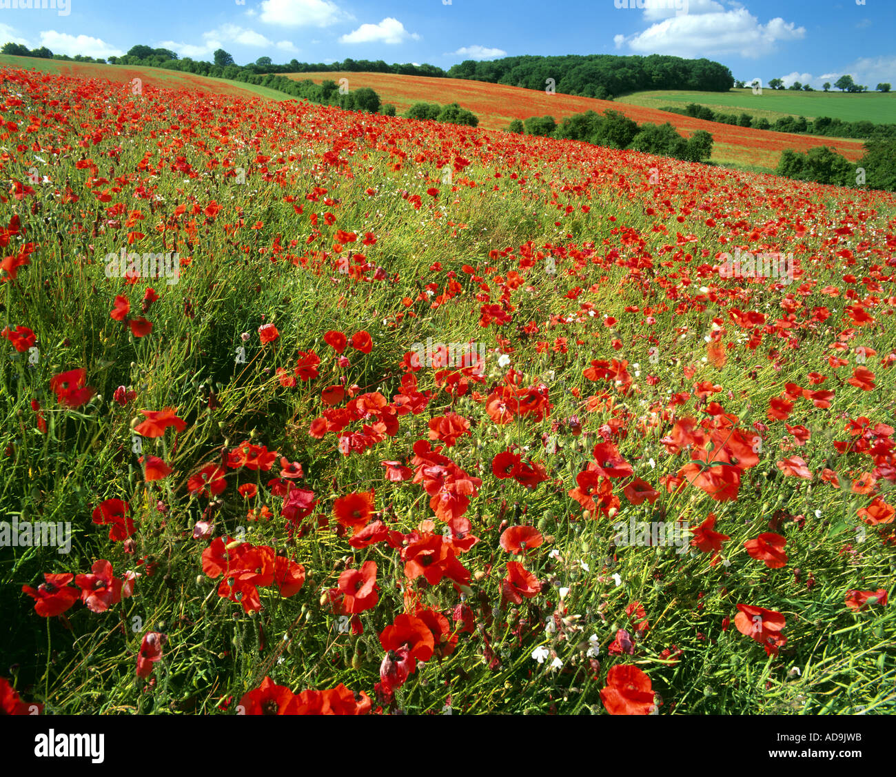 GB - GLOUCESTERSHIRE:  Poppies in the Cotswolds Stock Photo