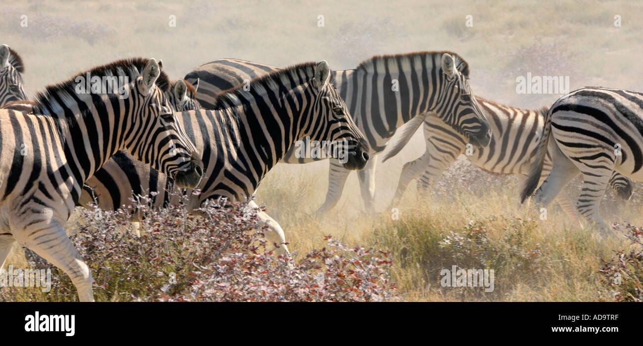 Zebras Running Through Water Herd Zebras Running Th...