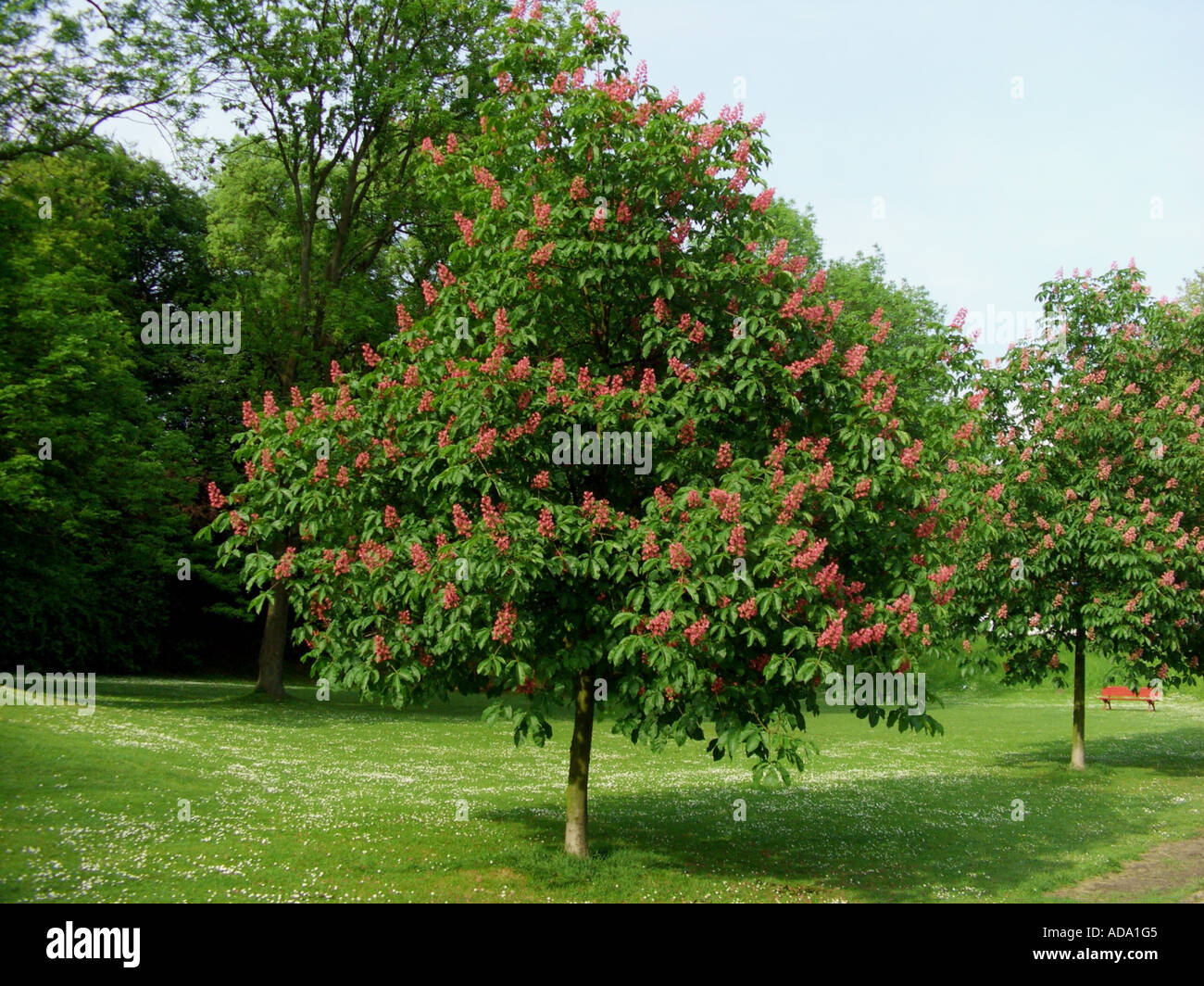 Red chestnut tree in flower stock photos red chestnut tree in red horse chestnut pink horse chestnut aesculus x carnea aesculus carnea mightylinksfo