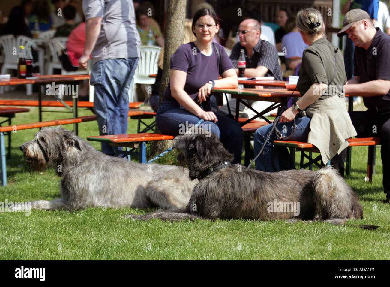 Irish Wolfhound (Canis lupus f. familiaris), lying on lawn next owners, Germany Stock Photo