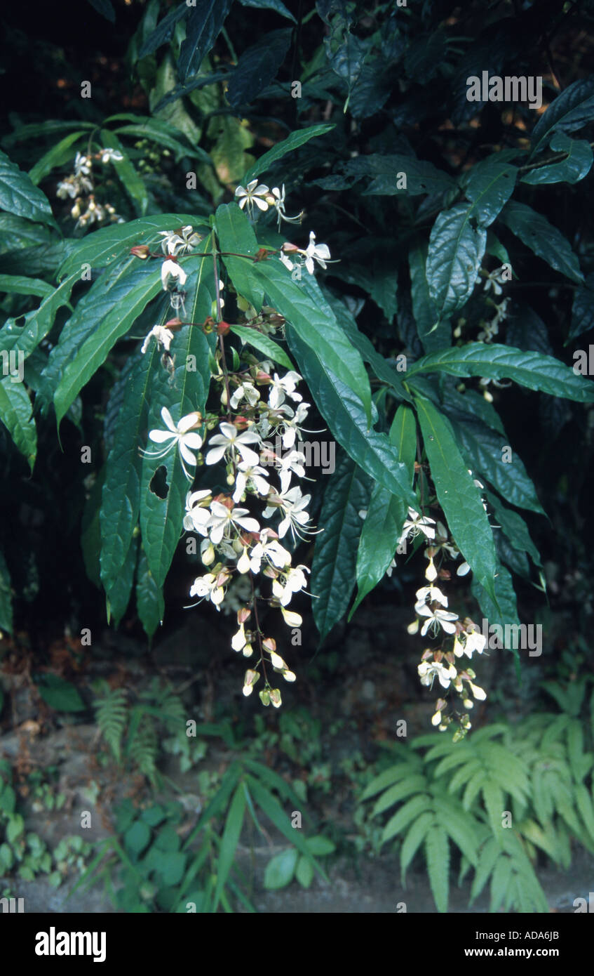 Wallich's glorybower, nodding clerodendrum (Clerodendrum wallichii), bloomimg, China, Hong Kong - Stock Image