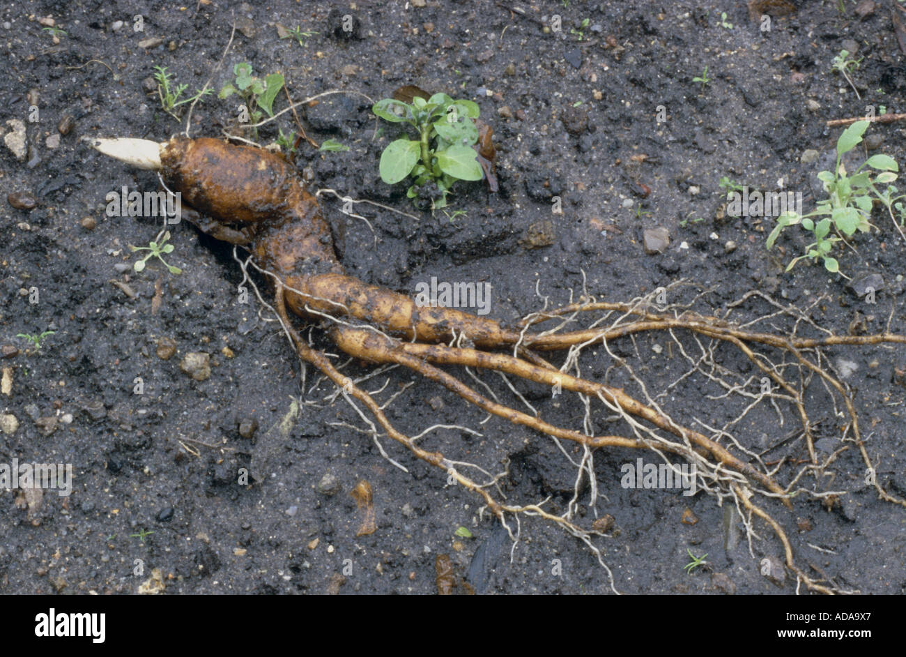Mandrake Stock Photos Mandrake Stock Images Alamy
