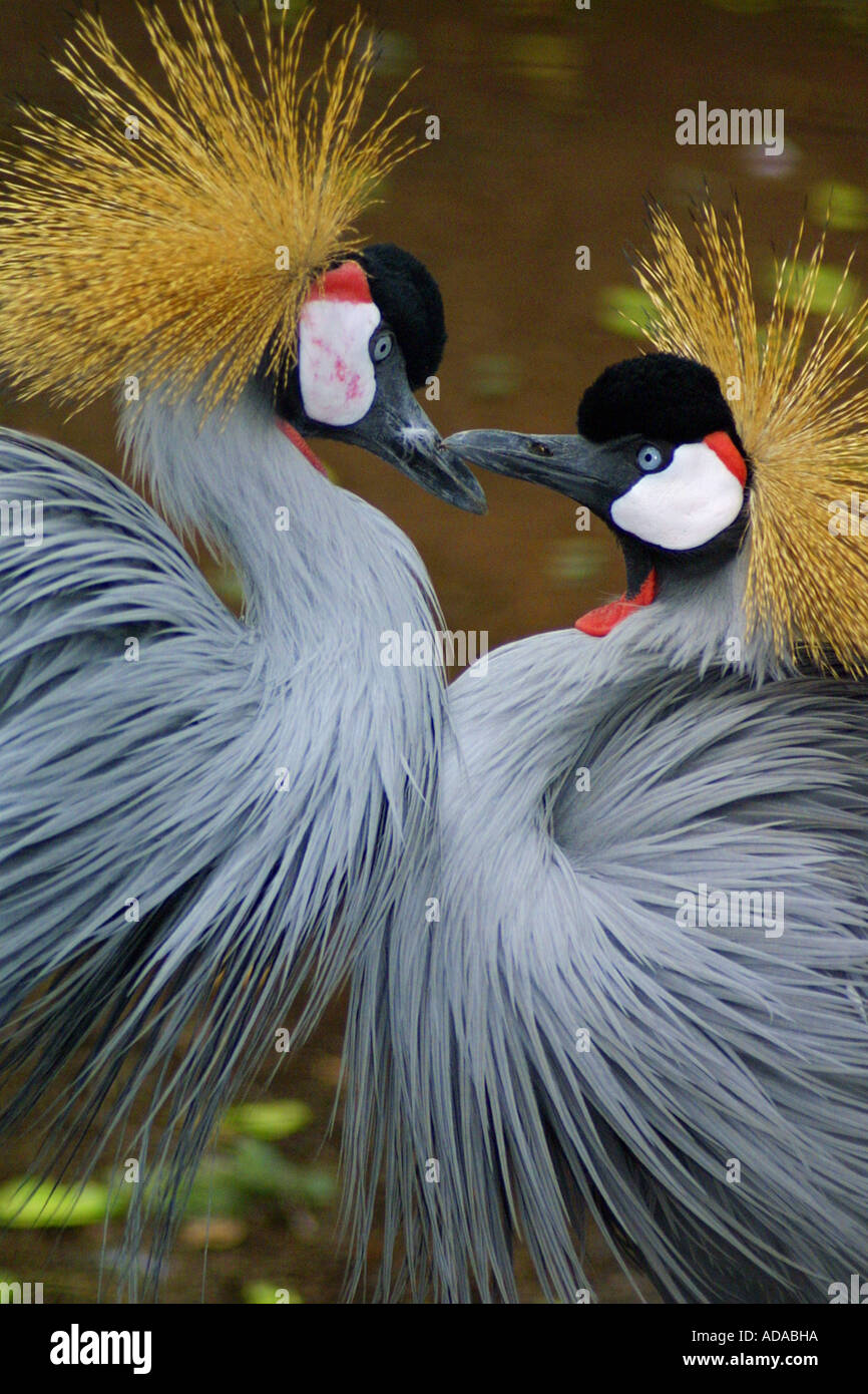 crowned crane (Balearica pavonina) Stock Photo