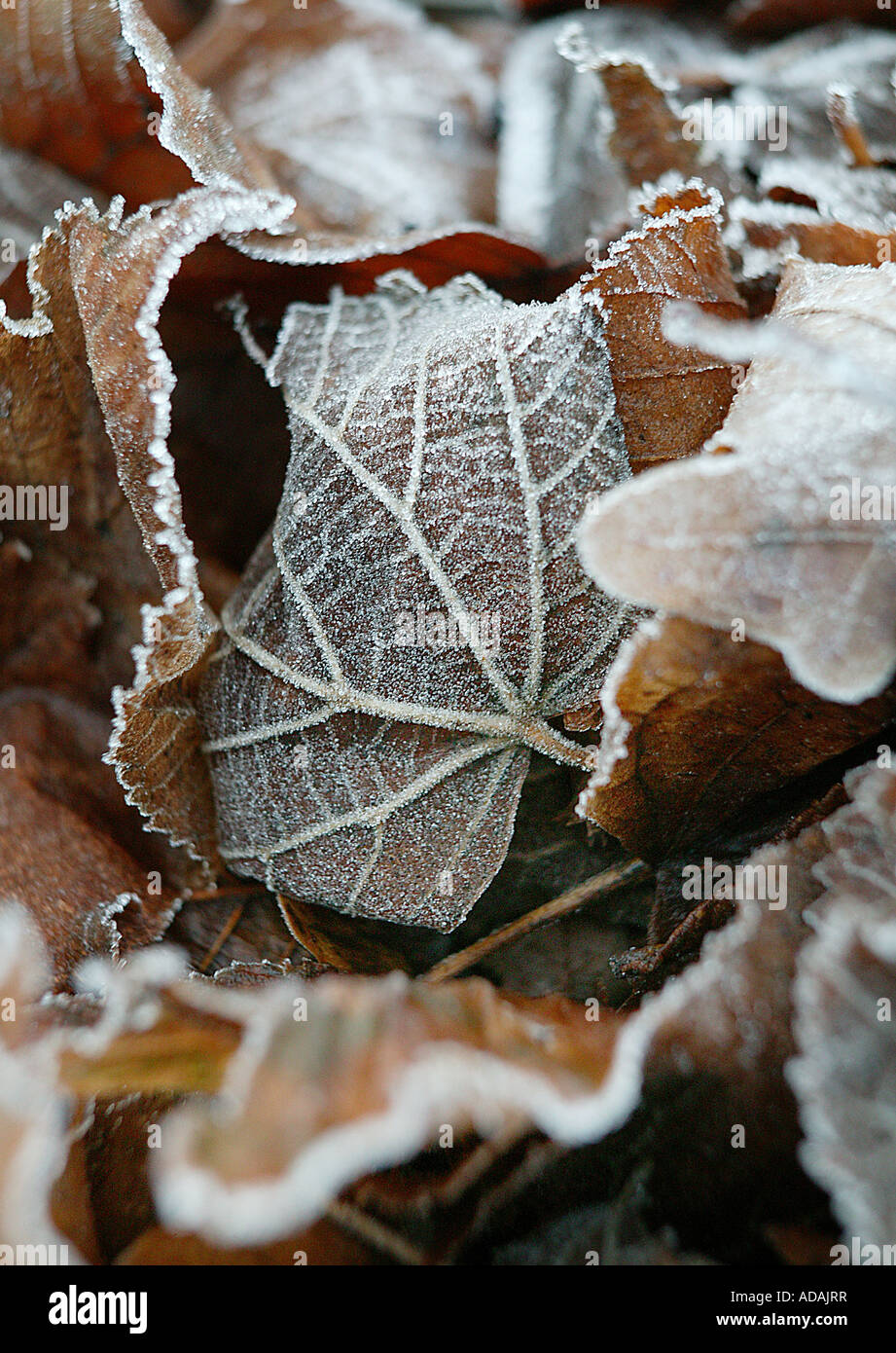 closely cropped frosty leaves lying on the ground. Clean subtle rural winter image - Stock Image