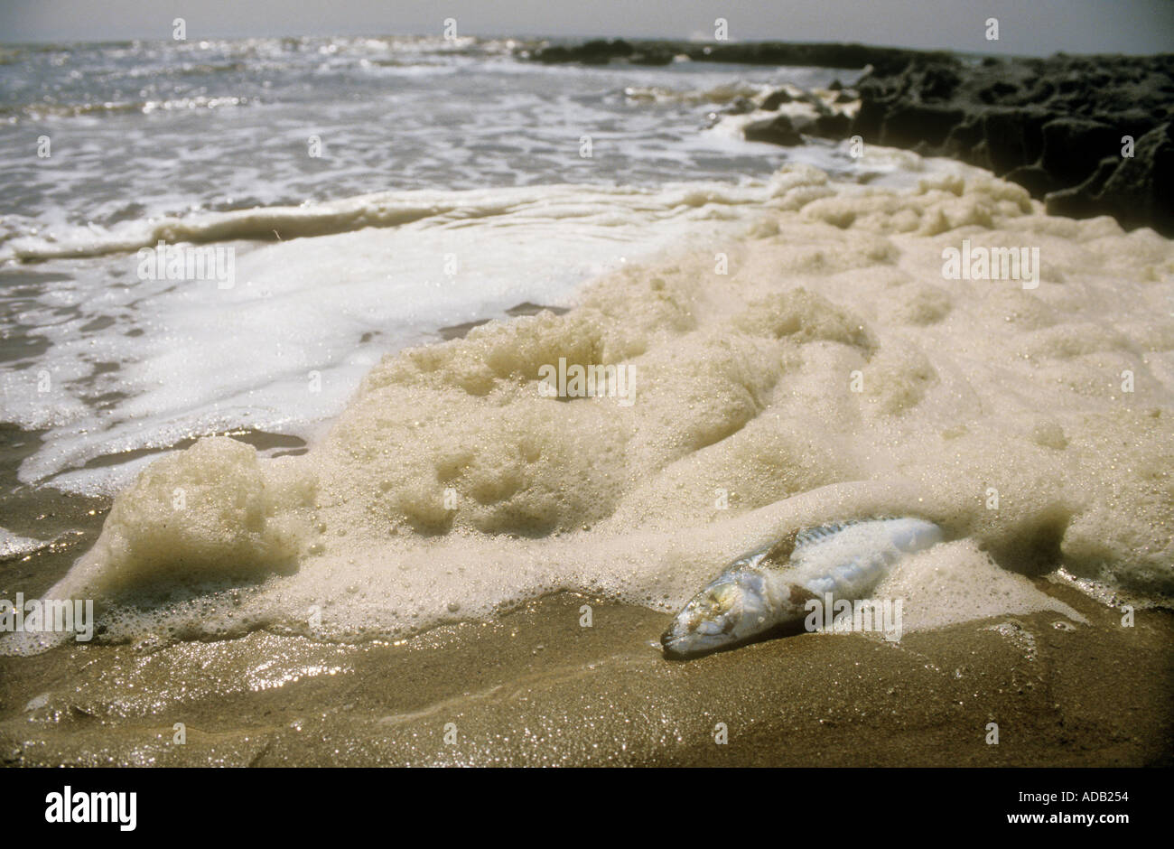 Protein scum pollution and dead fish on beach South Wales UK - Stock Image