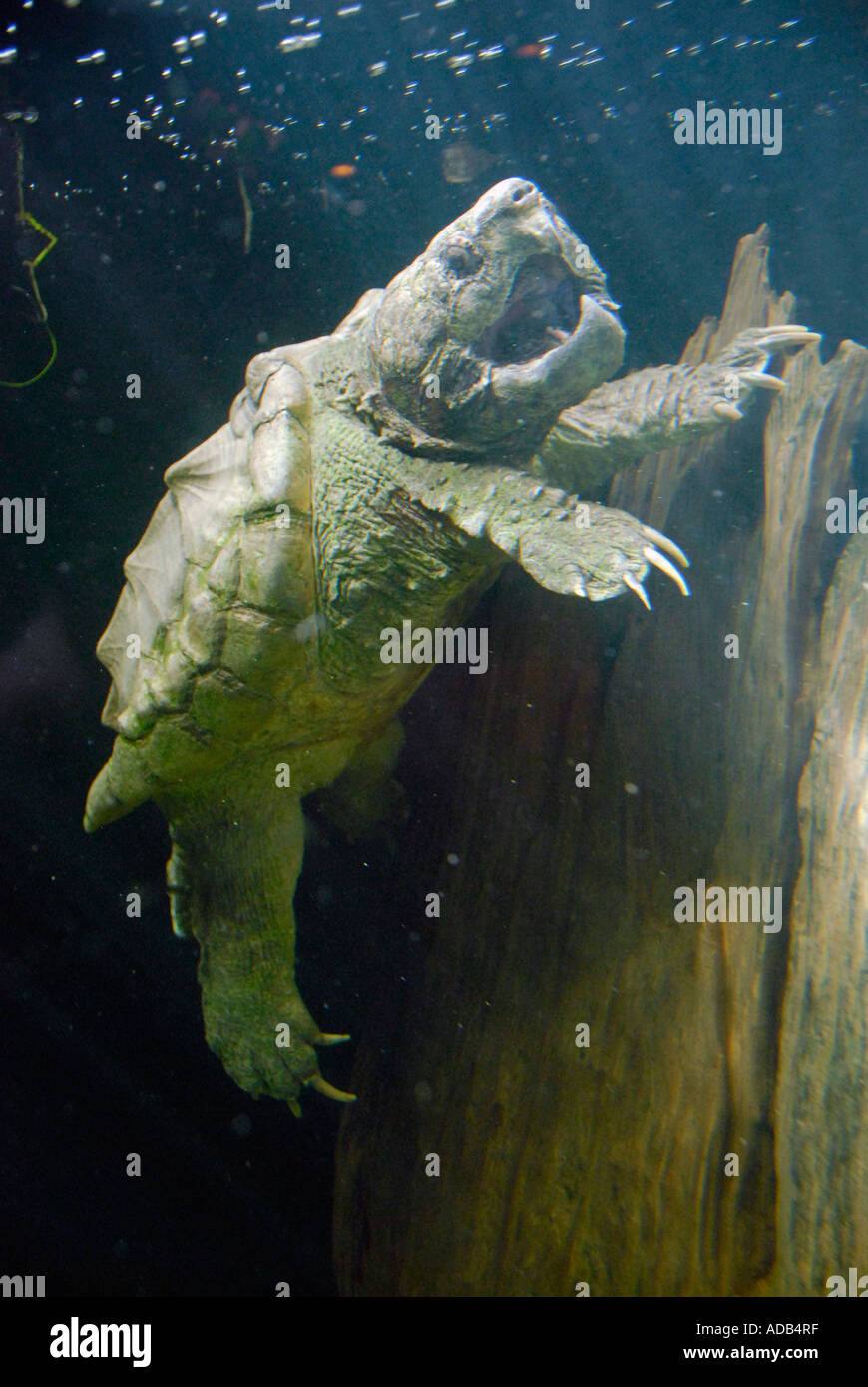 alligator snapping turtle Lowry Park Zoo Tampa Florida FL voted the number one zoo in the United States - Stock Image