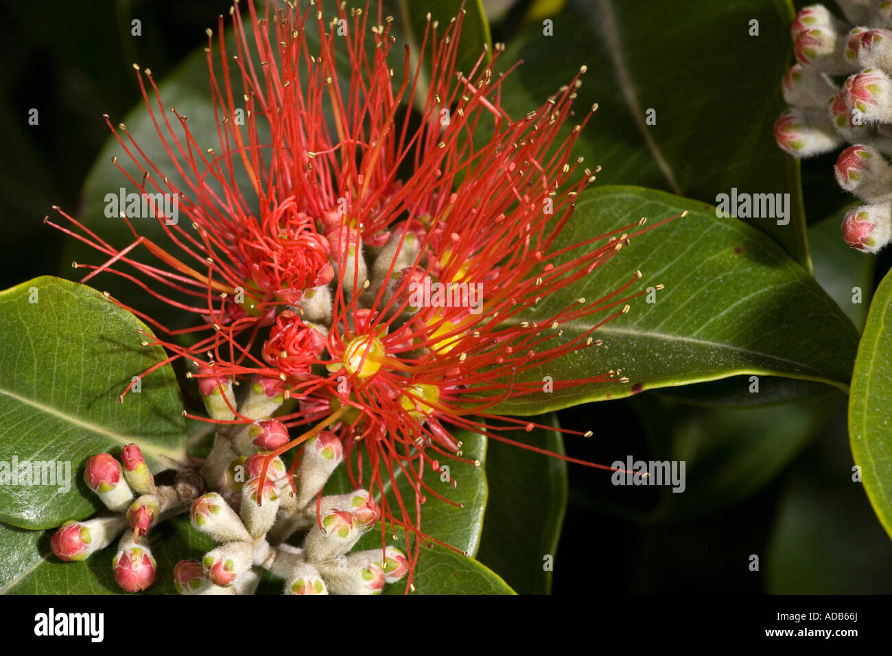 New Zealand Christmas Tree Or Pohutukawa In Flower Metrosideros