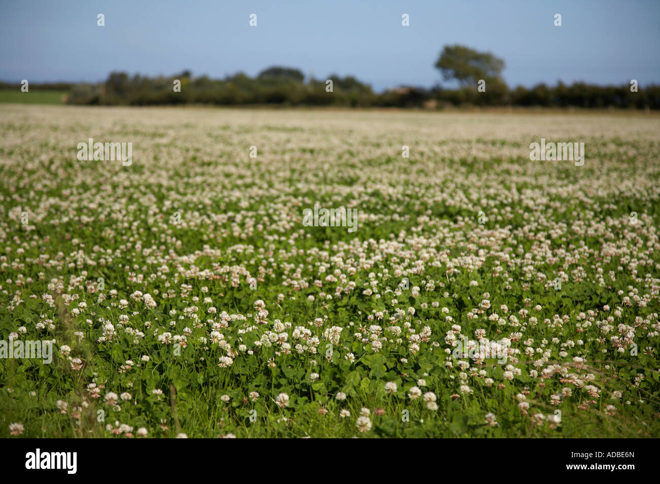 Field of clover with white flowers trifolium repens stock photo field of clover with white flowers trifolium repens mightylinksfo