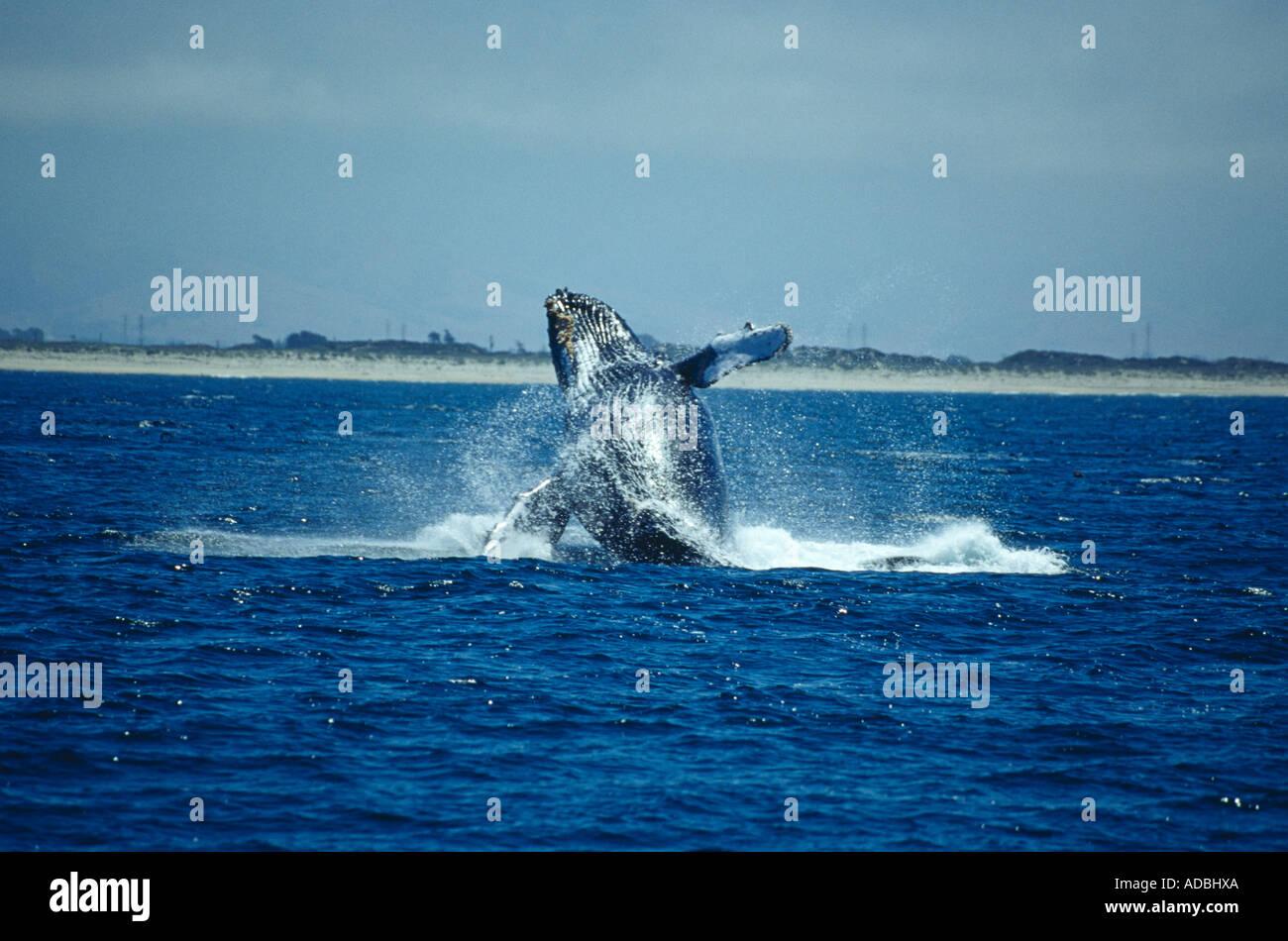 Breaching Humpback Whale (Megaptera Novaeangliae) Monterey coast California USA - Stock Image