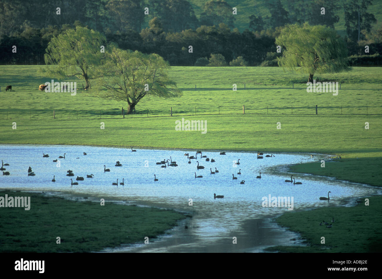 Swans near Mallacoota Victoria Australia - Stock Image