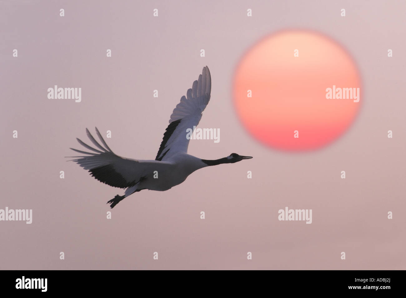 Red Crowned crane flying with sunset Heilongjiang Province China - Stock Image